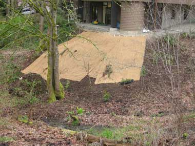 The slope where the ivy was is quite steep, so erosion control fabric was installed promptly.
