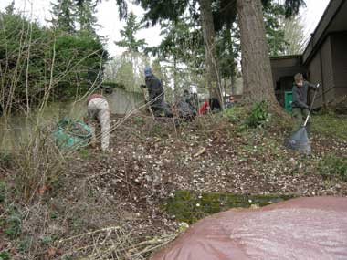One crew removed a section of salal that unfortunately had fallen prey to disease.